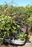 在黑莓灌木掩藏的生锈的经典汽车 图库摄影