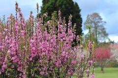 在紫藤庭院的春天 免版税图库摄影