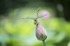 在蜻蜓的莲花 免版税库存照片