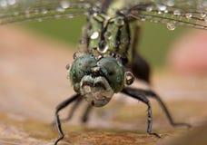 在蜻蜓的雨下落 库存照片