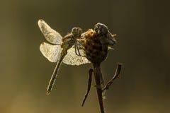在蜻蜓的露水 库存照片