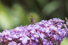 在蝴蝶灌木丛的飞蛾 库存图片