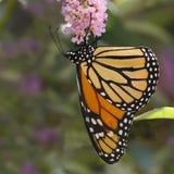 在蝴蝶灌木丛的黑脉金斑蝶 免版税库存照片