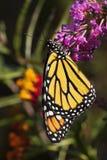 在蝴蝶灌木丛的黑脉金斑蝶 免版税库存图片