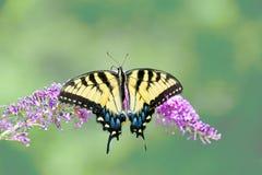 在蝴蝶灌木丛的黄色东部老虎swallowtail蝴蝶 免版税库存图片