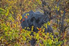 在蝴蝶/凤仙花树-克留格尔国家公园-南非后的非洲大象 库存图片