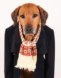 在黑衣服的可爱的老Rhodesian Ridgeback狗 免版税库存图片