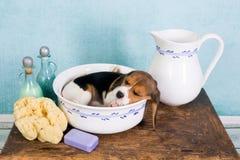 在洗衣盆的小狗 免版税图库摄影
