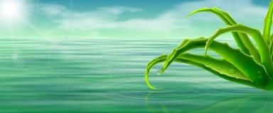 在水表面背景的芦荟维拉 库存例证