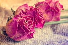 在麻袋布背景的三朵老玫瑰 免版税库存照片