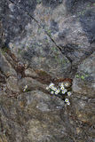 在破裂的石头的白花 库存图片