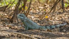 在巴西人潘塔纳尔湿地河岸的鬣鳞蜥  免版税库存图片