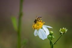 在戴西的蜂 免版税图库摄影