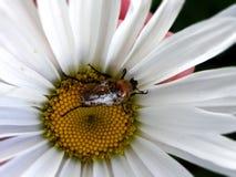 在戴西花的甲虫 免版税图库摄影