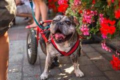 在主要集市广场的年鉴第22次达克斯猎犬游行 库存图片