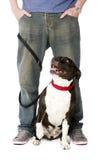 在主角的斯塔福德郡杂种犬 免版税库存图片
