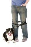 在主角的斯塔福德郡杂种犬 库存图片