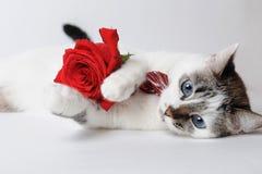 在说谎和拿着在胳膊的一个时髦的蝶形领结的白色蓬松蓝眼睛的猫一朵红色玫瑰 与样式的丝绸红色蝶形领结 免版税库存照片