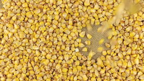 在说谎在麻袋布的玉米转动的圈子的落的玉米五谷 股票录像