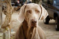在画象的一条狗 免版税库存图片