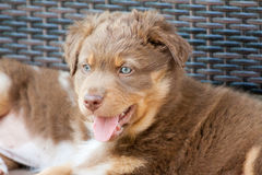 在画象的一条美丽的小狗 库存照片