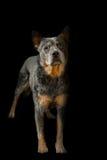 在画象的一条美丽的小狗 免版税库存图片