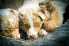 在画象的两条狗 图库摄影
