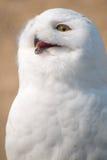 在画象的雪猫头鹰 图库摄影