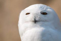 在画象的雪猫头鹰 免版税库存图片