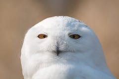 在画象的雪猫头鹰 库存图片