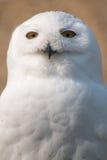 在画象的雪猫头鹰 免版税库存照片
