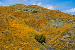 在2019超级绽放期间,橙色花菱草覆盖着在步行者峡谷的领域在湖埃尔西诺 库存图片