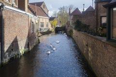 在水路,布鲁日,比利时的天鹅 库存照片