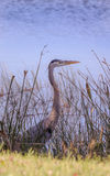 在水边缘的伟大蓝色的苍鹭的巢 库存图片