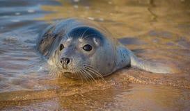 在水边缘的小海豹 免版税库存图片