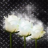 在黑金属片的白玫瑰 免版税库存图片