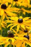 在黄金菊绽放的蜂 库存图片