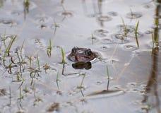 在水镜子的共同的青蛙 免版税库存图片