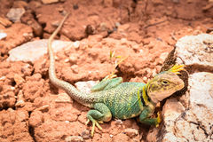 在默阿布犹他附近的西部抓住衣领口的蜥蜴 库存图片
