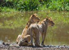 在水附近的两个年轻人狮子 国家公园 肯尼亚 坦桑尼亚 mara马塞语 serengeti 库存图片