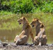 在水附近的两个年轻人狮子 国家公园 肯尼亚 坦桑尼亚 mara马塞语 serengeti 免版税图库摄影