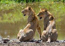 在水附近的两个年轻人狮子 国家公园 肯尼亚 坦桑尼亚 mara马塞语 serengeti 库存照片