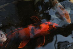 在水附近的明亮的橙色koi游泳浮出水面 库存图片