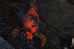 在水附近的明亮的橙色koi游泳浮出水面 图库摄影