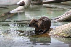 在水附近的海狸 免版税库存照片