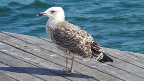 在水附近的海鸥吸收在码头的太阳 免版税库存照片