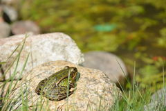 在水附近的青蛙 免版税库存图片