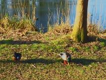 在水附近的鸭子 免版税库存照片