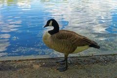 在水附近的鹅在华盛顿特区美国 免版税图库摄影