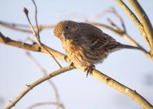 在麻雀的早晨阳光,当栖息在分支时 免版税库存照片